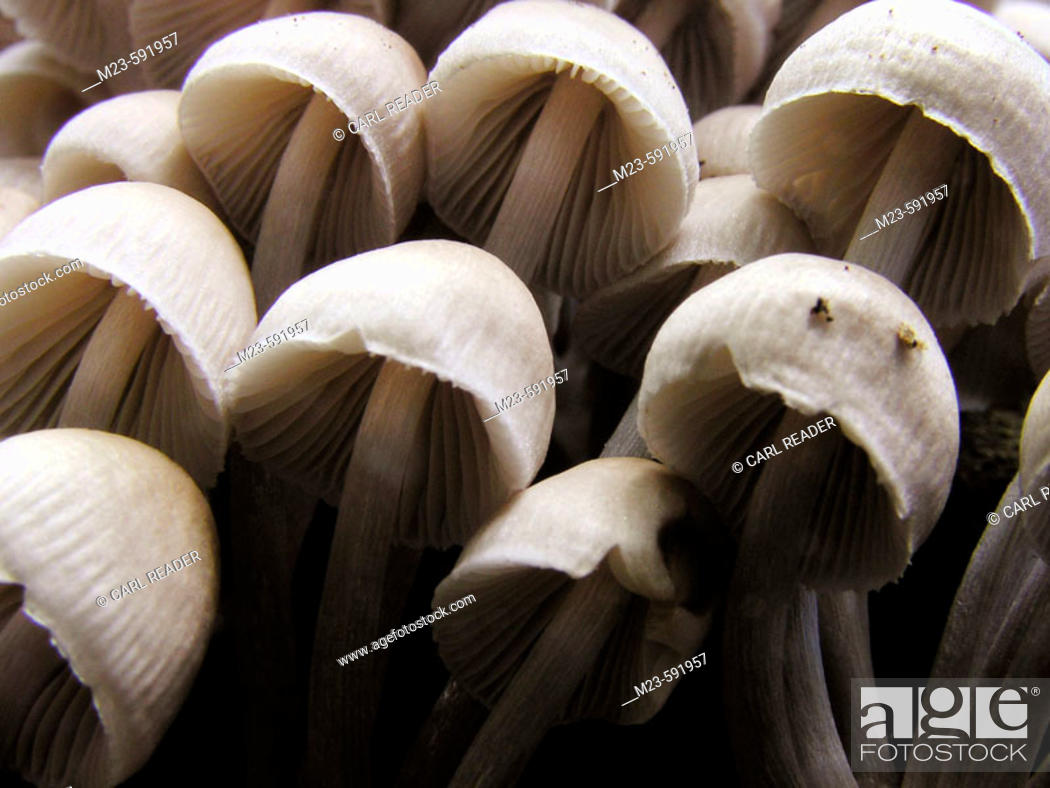 Stock Photo: Mushrooms lean off to the side on the trunk of a tree, Pennsylvania, USA.