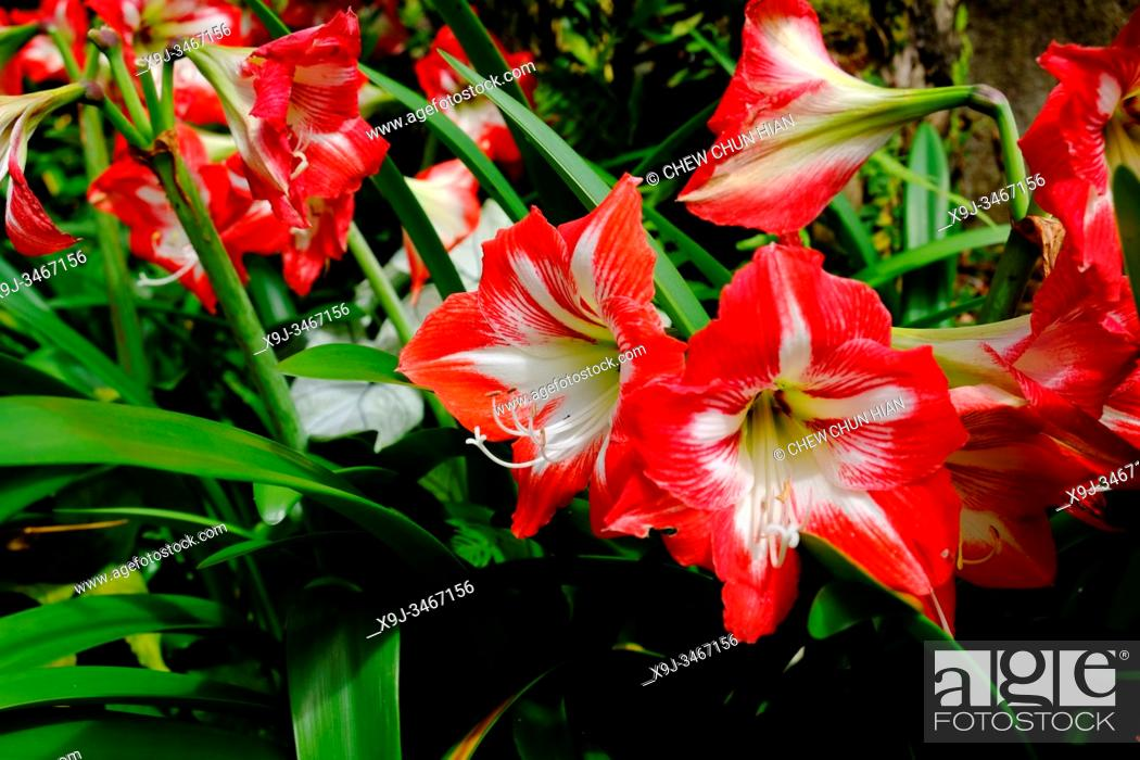 Imagen: Flower in the garden, Red and White Striped amaryllis, Cameron Highlands, Malaysia.