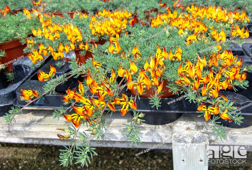 Stock Photo: Lotus plant fiery colours on rustic wood stand. Spring garden series, Mallorca, Spain.