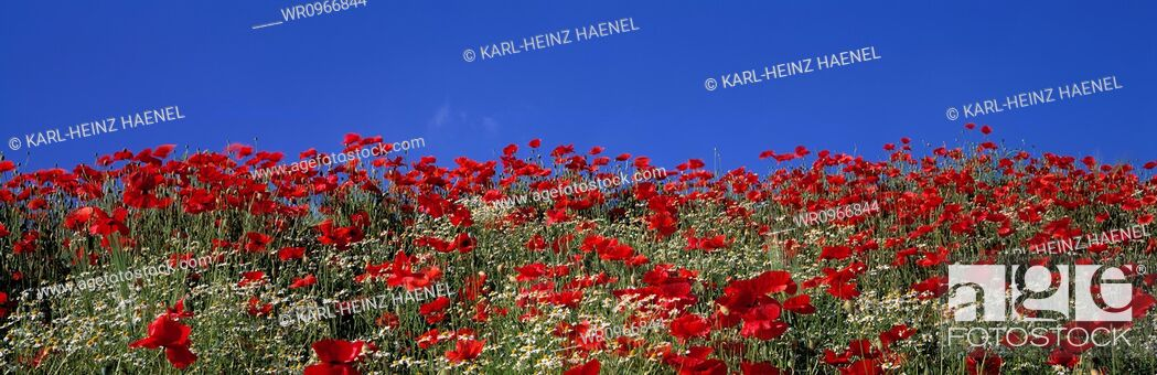 Stock Photo: Blooming, Blossoming, Poppy, Outdoors, Blue Sky, Summer, Horizontal, Nature, Sky, Seasonal, Flower, Backgrounds, Photography, Plant, Natural, Field, Agriculture, Color Image, Wild, Red, Image, No People, Season, Day, Panorama, Panoramic, Blossom, Bloom