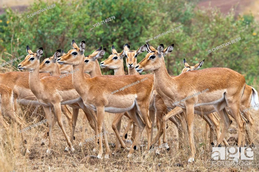 Imagen: Group of Impala antelopes (Aepyceros melampus), Maasai Mara National Reserve, Rift Valley, Kenya, Africa.