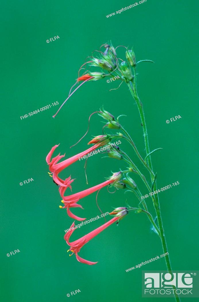 Stock Photo: Scarlet Gilia Gilia aggregata close-up of flowers, Colorado, U S A , july.