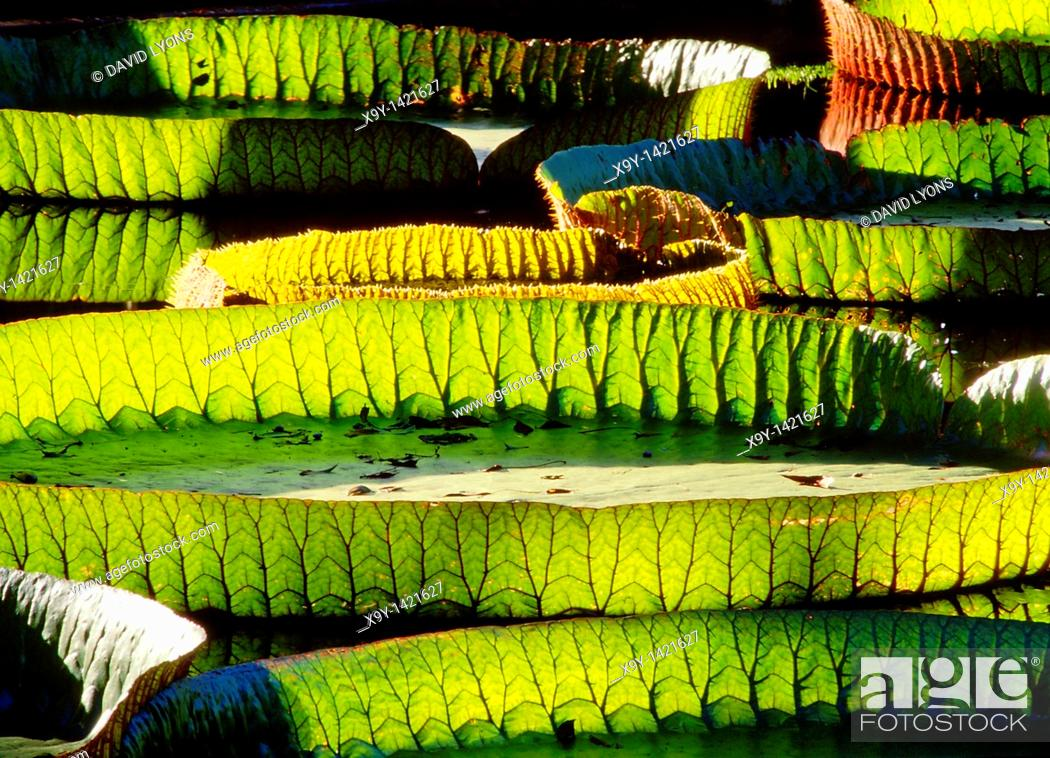Stock Photo: Amazonian water lily pads  Backlit sunshine shows leaf structure  Genus Victoria Amazonica  Plant family Nympaeaceae.
