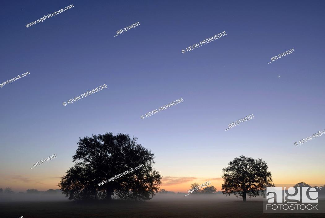 Stock Photo: Meadow landscape with solitary oak trees in the morning mist at sunrise.