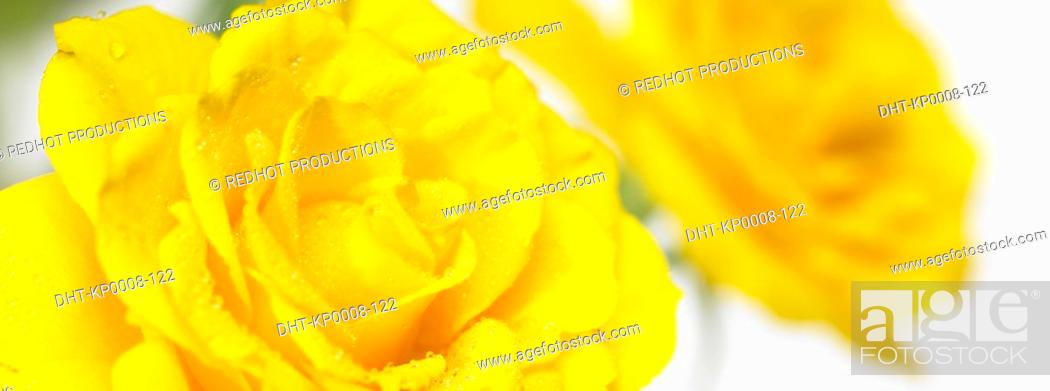 Stock Photo: Yellow Roses close up with dew on them.
