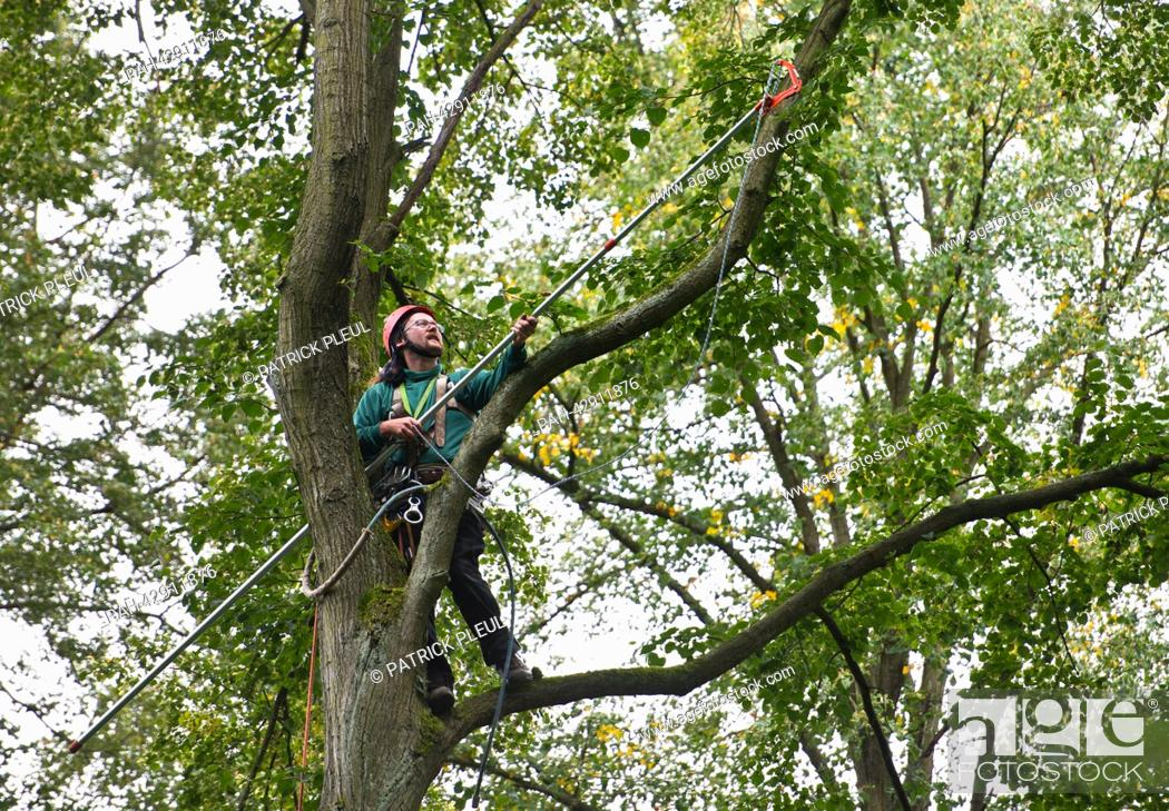 Stock Photo: Cone picker Stefan Teschke climbs up into a Small-leaved Lime (lat: Tilia cordata) with a cutting arm in the city forest in Prenzlau, Germany, 23 September 2013.