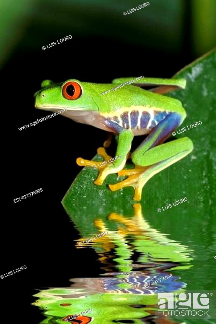 Stock Photo: Red eye tree frog Agalycnis callidryas from Costa Rica.