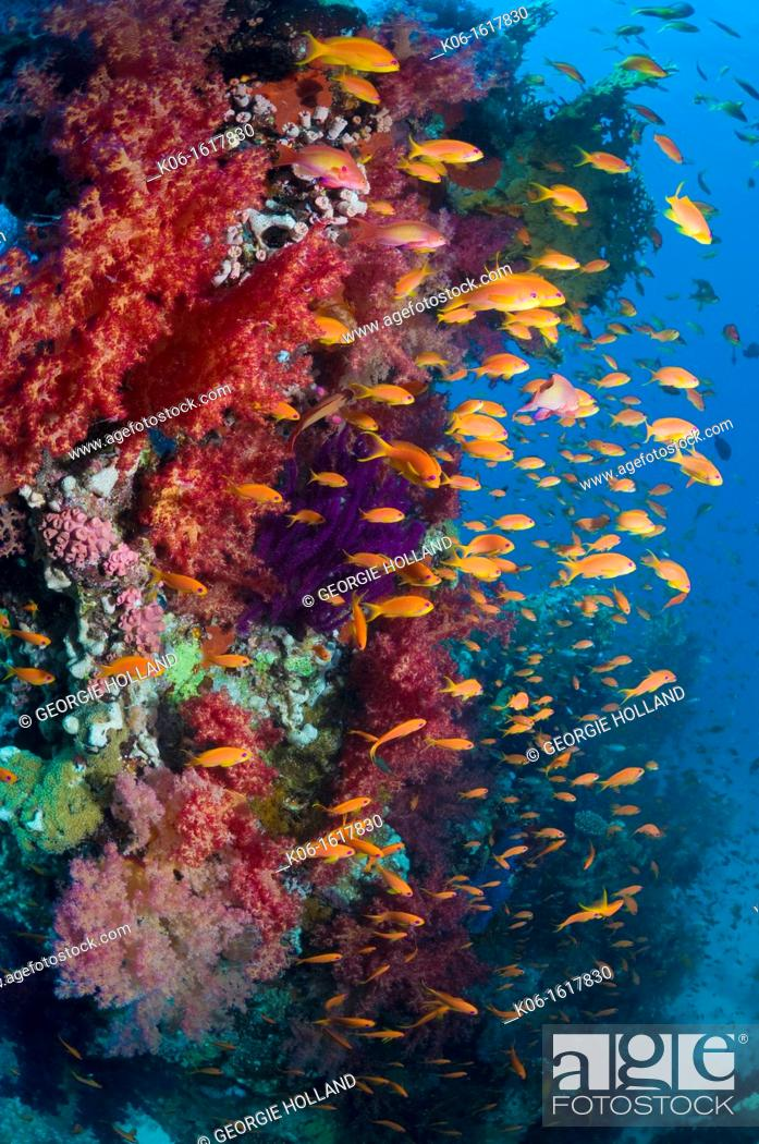 Stock Photo: Lyretail anthias or Goldies Pseudanthias squamipinnis on coral reef with soft corals  Red Sea, Egypt.