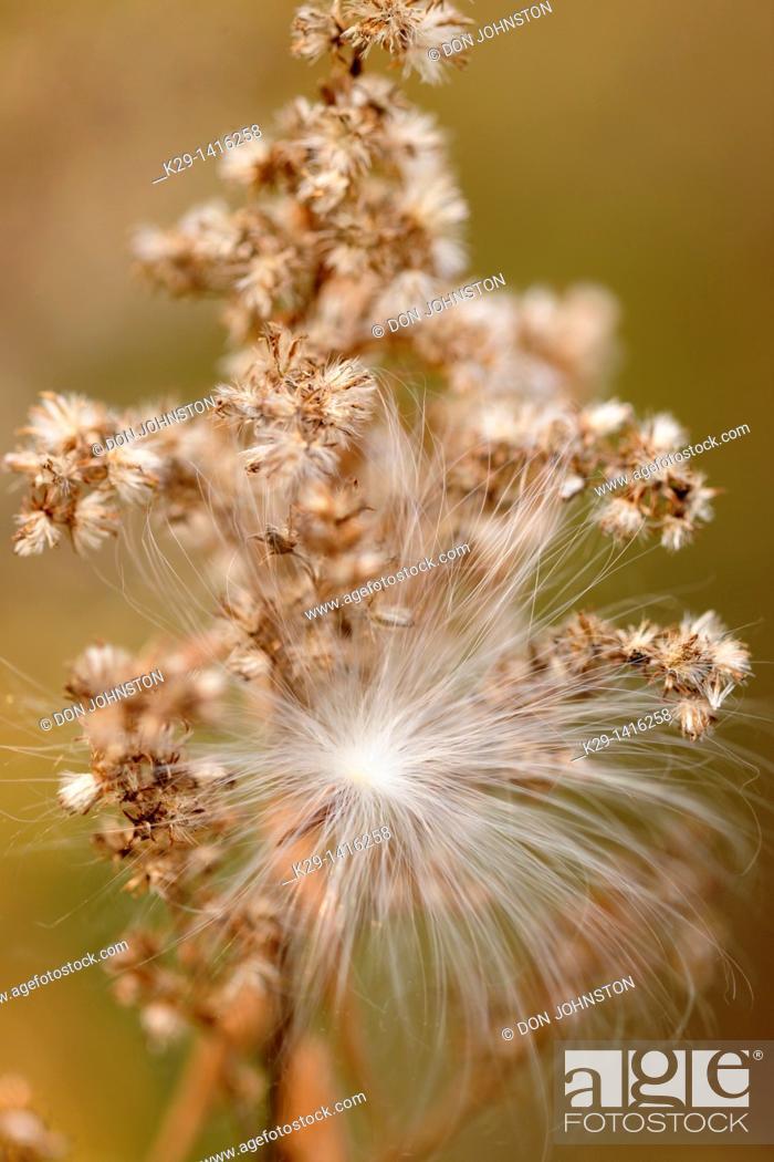 Stock Photo: Common milkweed Asclepias syriaca Wind disperesd seed clinging to a goldenrod Greater Sudbury Ontario.
