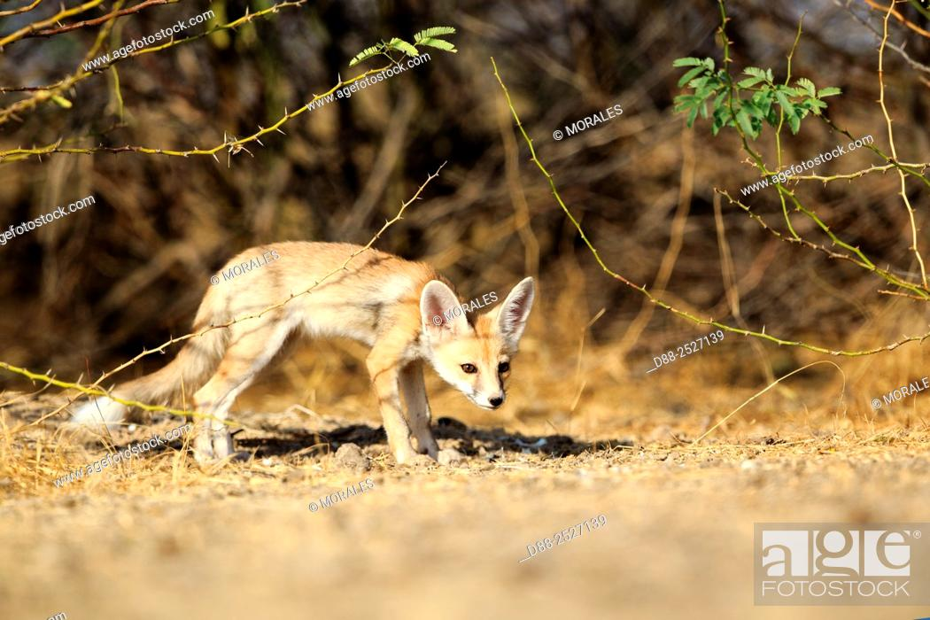 Stock Photo: India, Gujarat, Little Rann of Kutch, Wild Ass Sanctuary, Desert fox or white-footed fox Vulpes vulpes pusilla, young at the den.