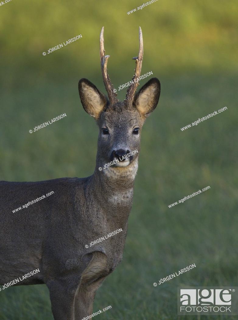 Imagen: Roe-Deer Botkyrka Stockholm Sweden.