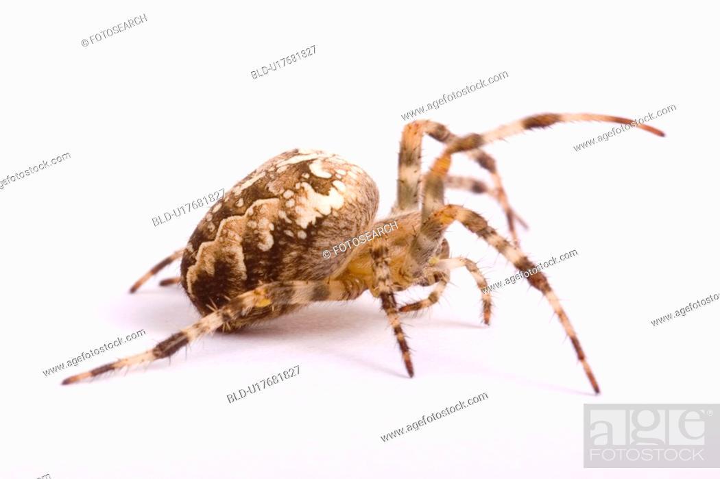 Stock Photo: wiesenbewohner, freigestellt, alfred, animal, animals, arachnid.