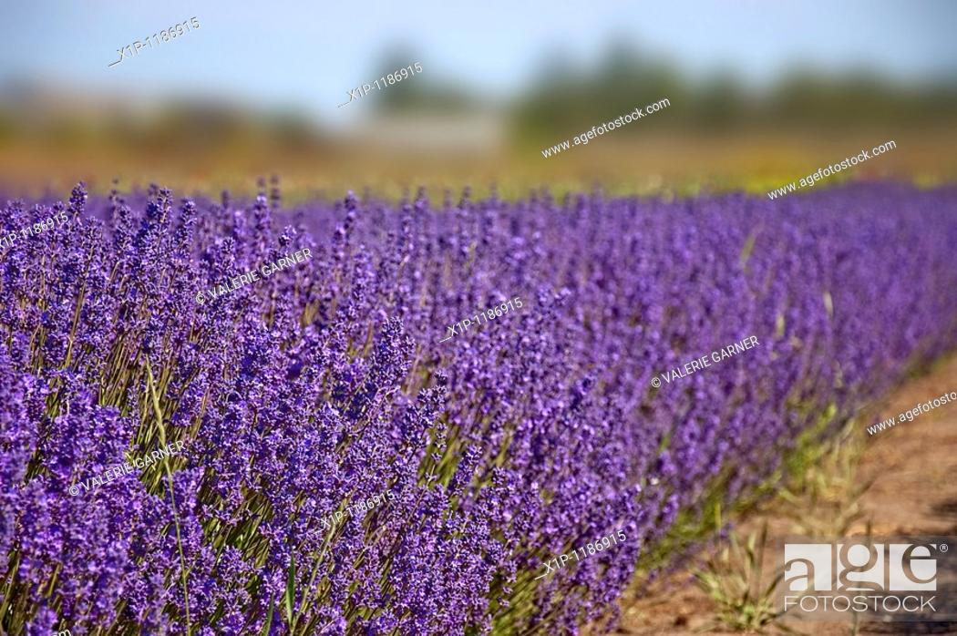 Stock Photo: This landscape photo is stunning with a bright, big purple row of lavender herbs growing on a lavender farm Background is intentionally blurred for artistic.