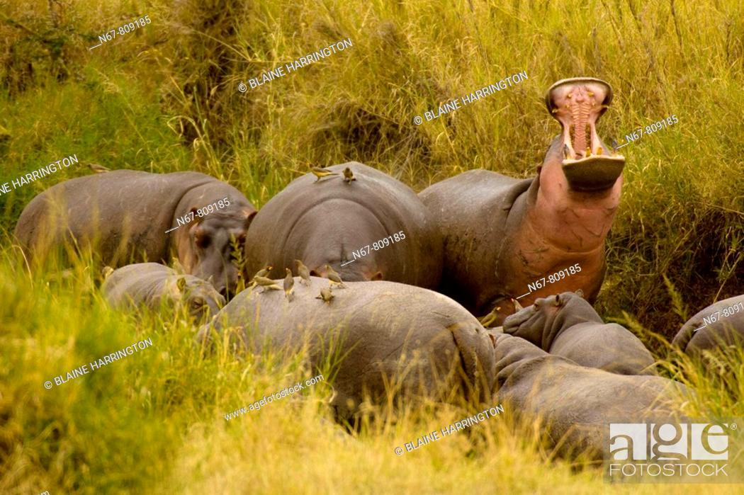 Stock Photo: A bloat group of hippos one is 'yawning', which is actually a threat gesture, Serengeti National Park, Tanzania.