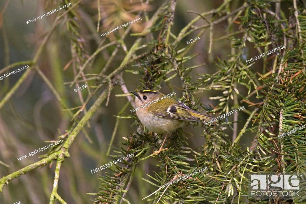 Stock Photo: Goldcrest Regulus regulus adult, perched in yew, Norfolk, England.