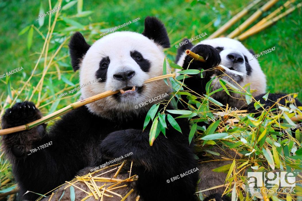 Stock Photo: Giant panda pair eating bambou Ailuropoda melanoleuca captive  ZooParc Beauval, France.