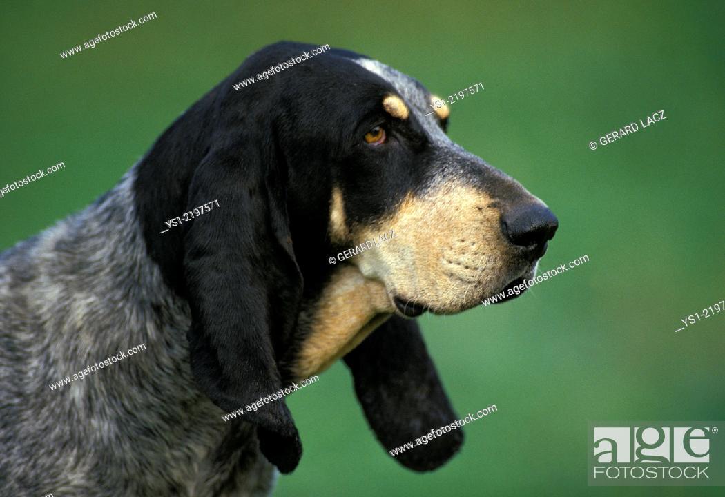 Stock Photo: Little Blue Gascony Hound, Portrait of Dog.
