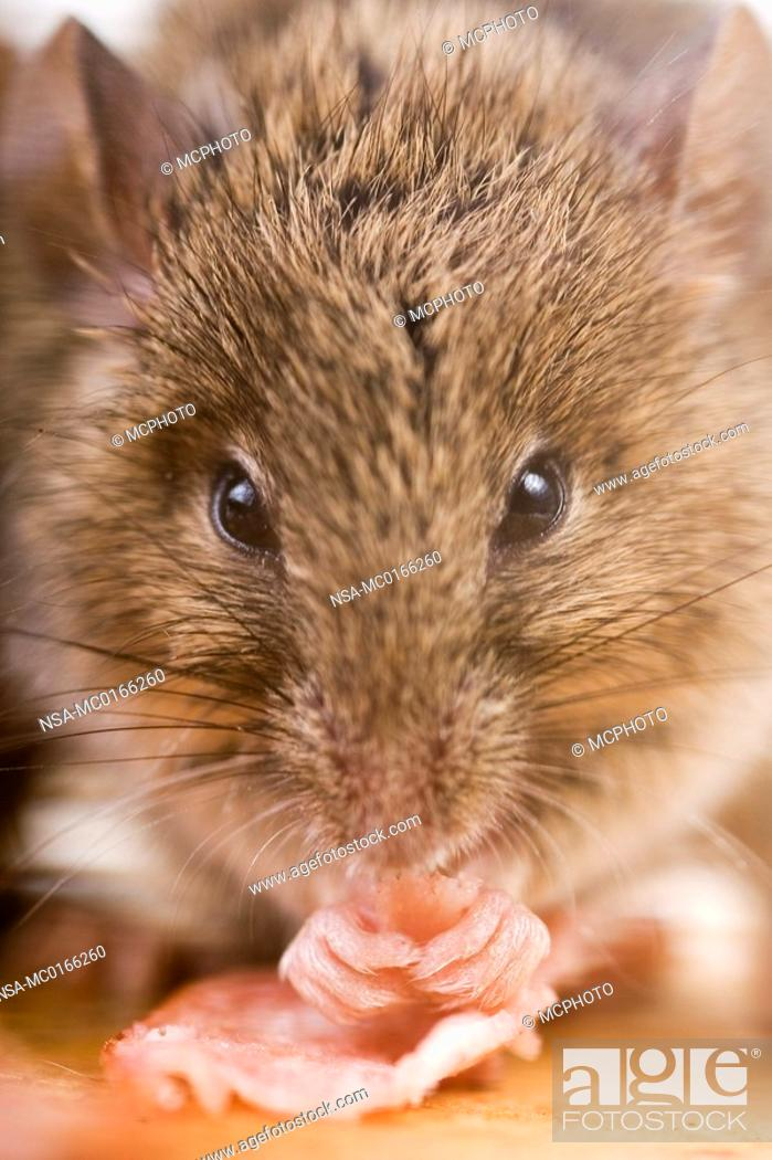 Stock Photo: house mouse mus musculus.