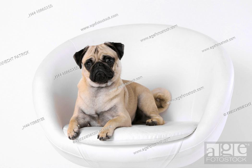 Isolated Domestic Animal Pet Domestic Animals Pets Dog Dogs Pugs Fatties Mops Pugs Stock Photo Picture And Rights Managed Image Pic H44 10965155 Agefotostock