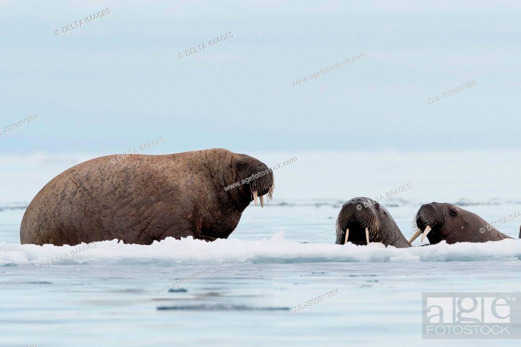 Stock Photo: Atlantic walrus (Odobenus rosmarus) on and around icebergs, Vibebukta, Austfonna, Nordaustlandet, Svalbard, Norway.