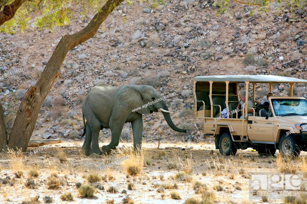 Stock Photo: Desert elephant, Desert-dwelling elephant, African elephant (Loxodonta africana africana), desert elefant near a safari jeep, Namibia, Damaraland.