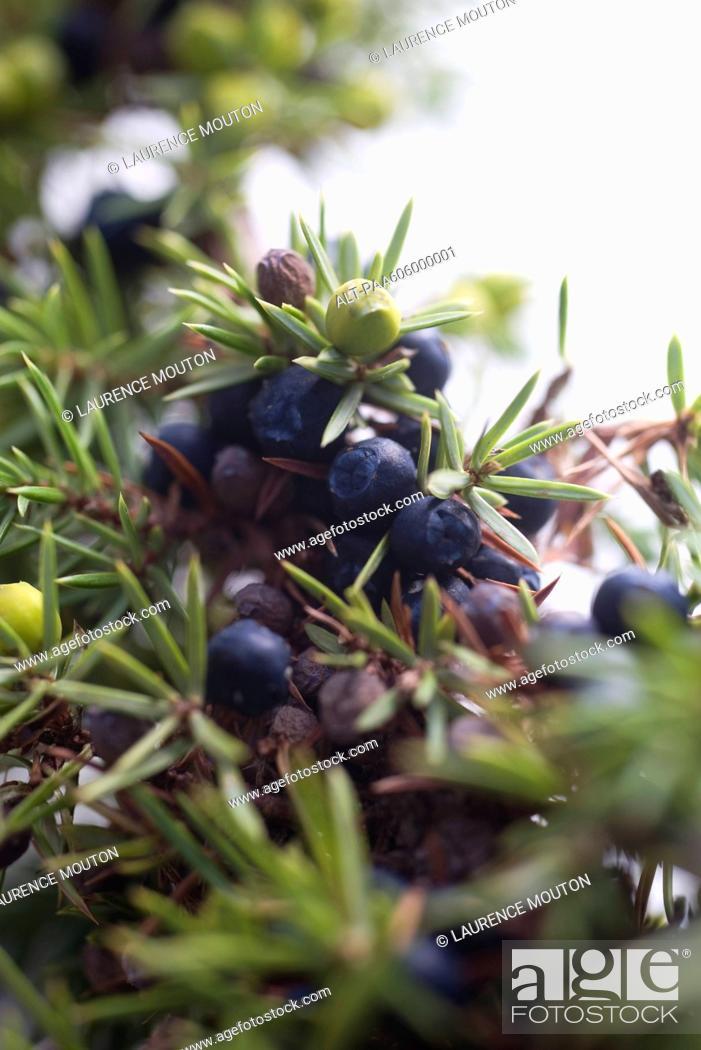 Stock Photo: Juniper berries growing on branch.