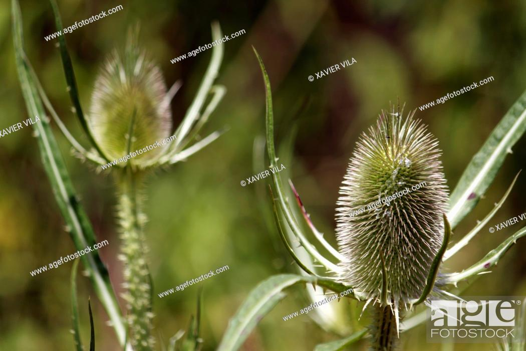Stock Photo: Thistles, golden thistle, Chartreuse, Isere, Rhone Alpes, Alps, France.