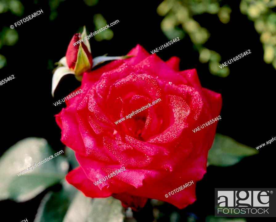 Stock Photo: red flowers, nature, flowers, flower, scene, wildflower, landscape.