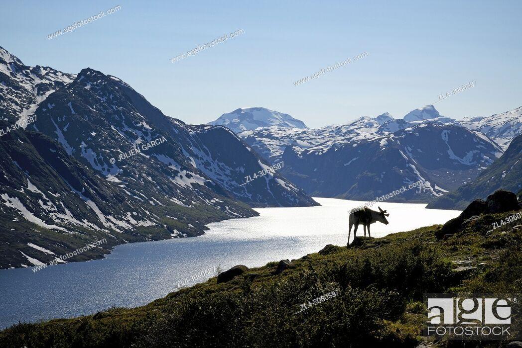 Stock Photo: Norway, Oppland, Vaga, Jotunheimen National Park, Besseggen Ridge, reindeer in fromt of the Lake Gjende.