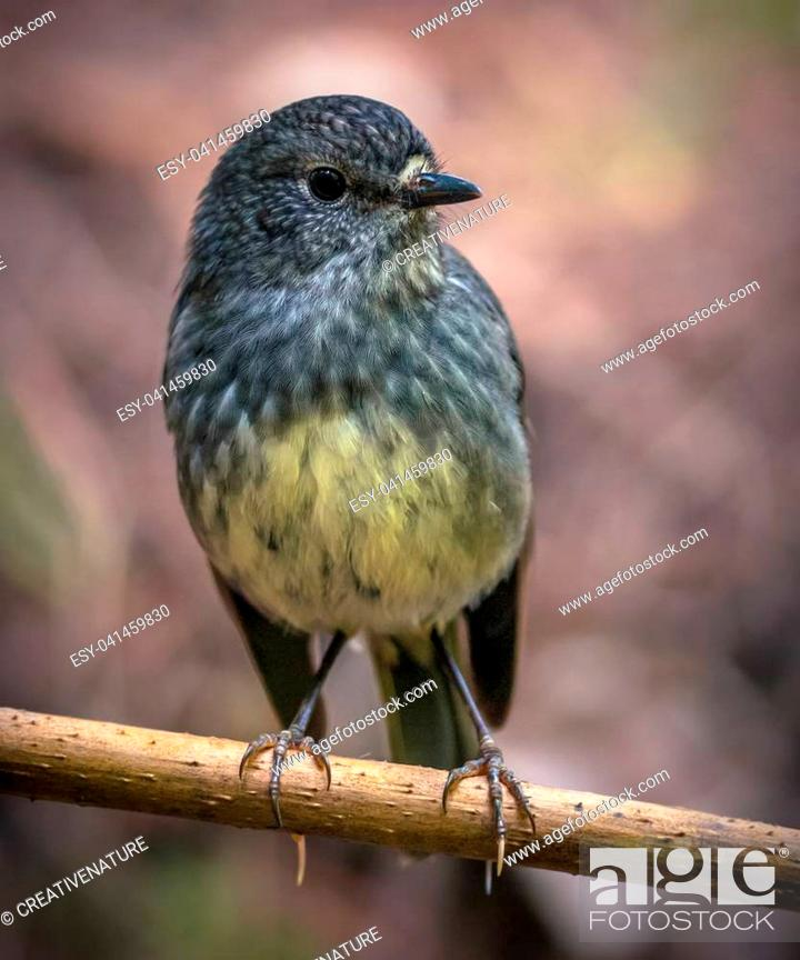 Stock Photo: Cute new zealand North Island Robin (Petroica longipes) perched on branch.