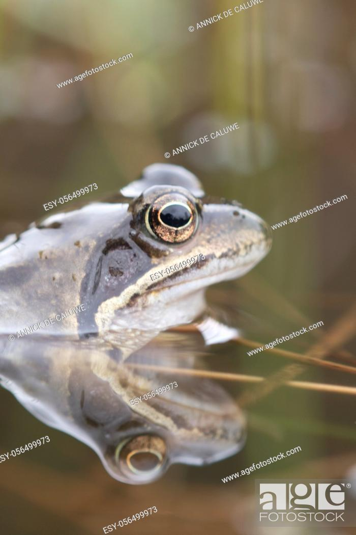 Stock Photo: Common frog, toad, rana temporaria with eggs.