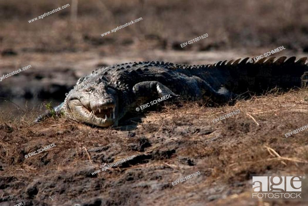 Stock Photo: Crocodile baring teeth.