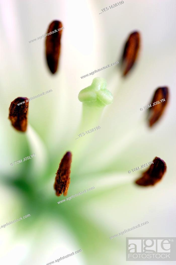 Stock Photo: Stigma and stamens of white Lily flower Lilium genus close up.