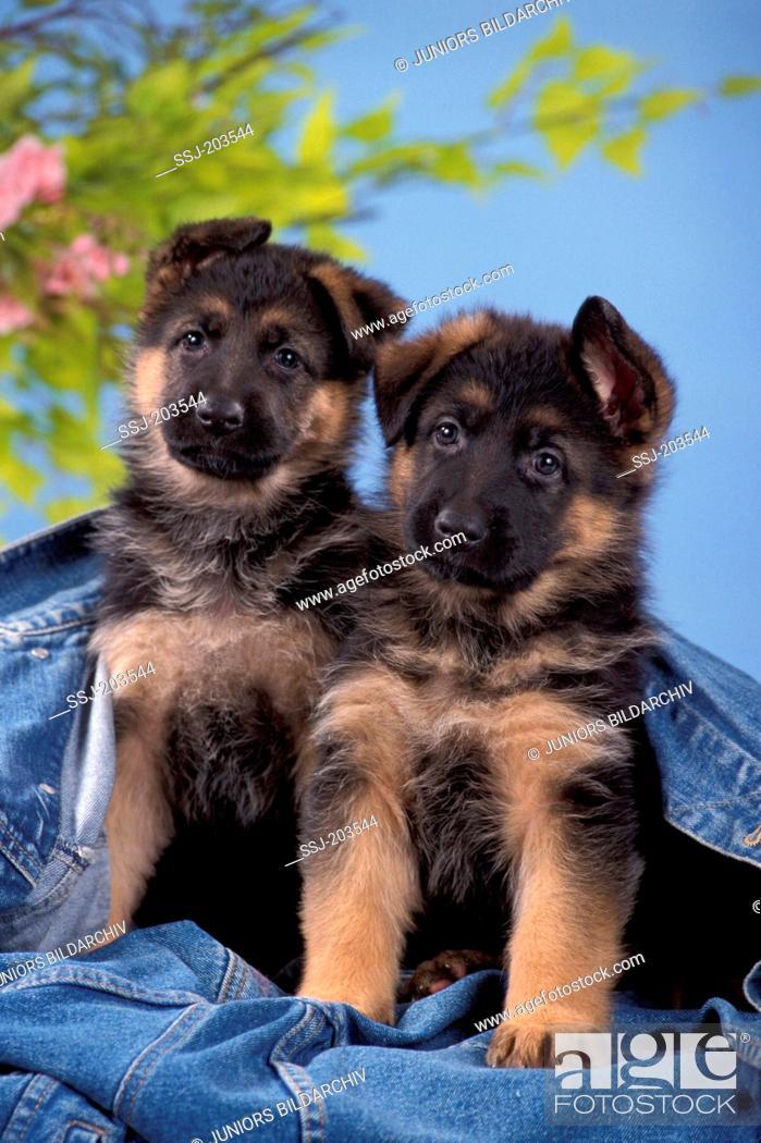 Stock Photo: German Shepherd, Alsatian. Two puppies sitting under a denim jacket. Germany.