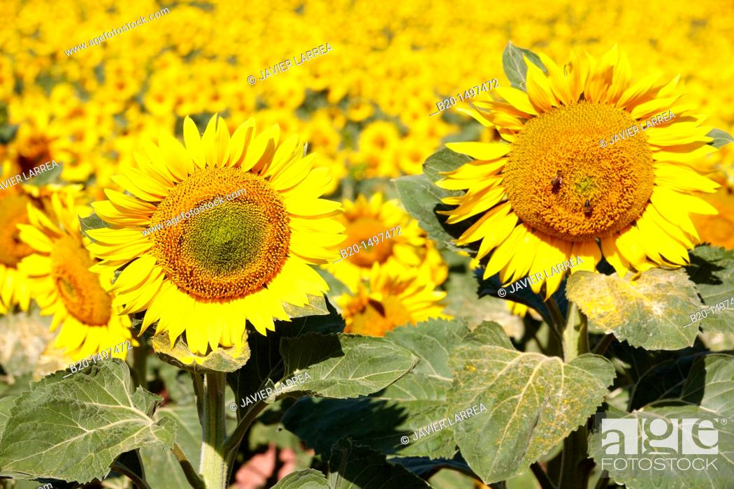 Stock Photo: Sunflowers field 'Learza' estate Near Estella, Navarre, Spain.