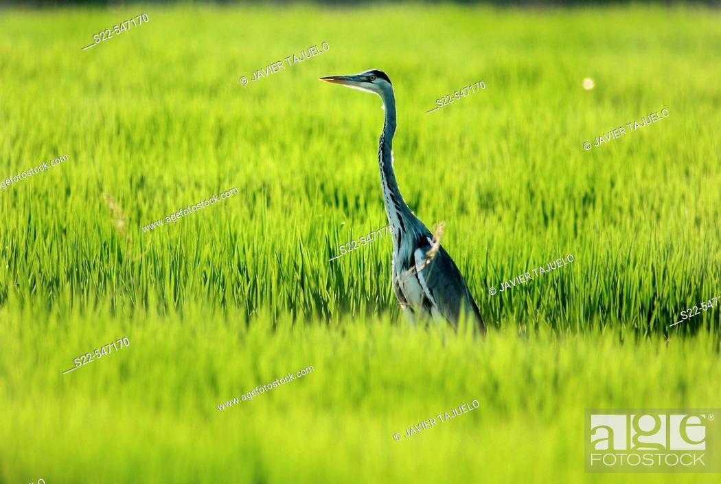 Stock Photo: Grey heron, Ardea cinerea. Albufera de Valencia NP, Comunidad Valenciana. Spain.