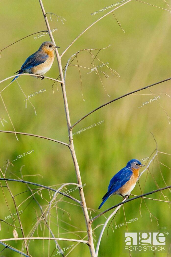 Stock Photo: Eastern Bluebird (Sialia sialis), pair on perch.