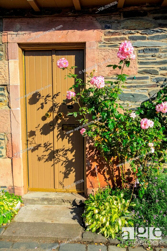 Stock Photo: Pink climbing roses outside a wooden door, Scotland.