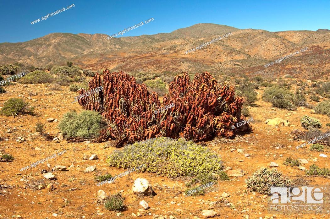 Stock Photo: Aloe pearsonii am Helskloof Pass, Richtersveld Nationalpark, Südafrika / Pearson's aloe Aloe paersonii at Helskloof Pass, Richtersveld National Park.