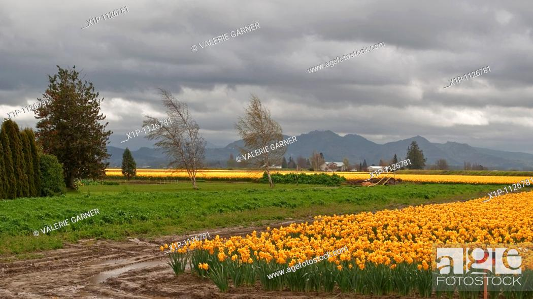 Stock Photo: This beautiful landscape scene shows a stormy spring day with a very large daffodil field, taken at LaConner, Washington Big, gray.