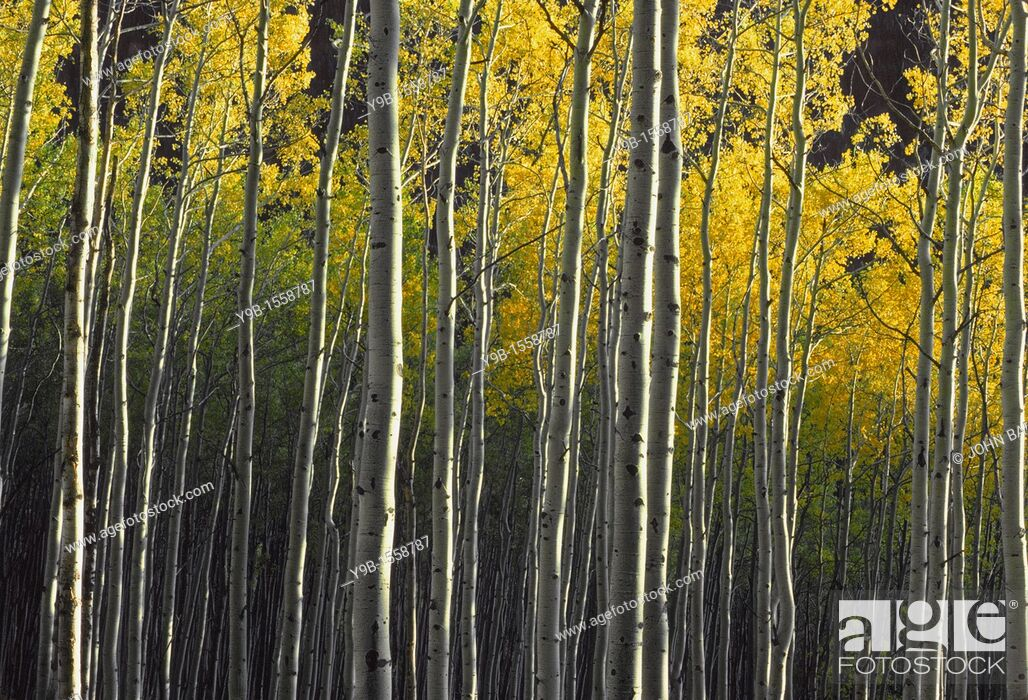 Stock Photo: Evening light and shadows on trunks and yellow autumn leaves of quaking aspen Populus tremuloides in fall, White River National Forest, Colorado, USA.