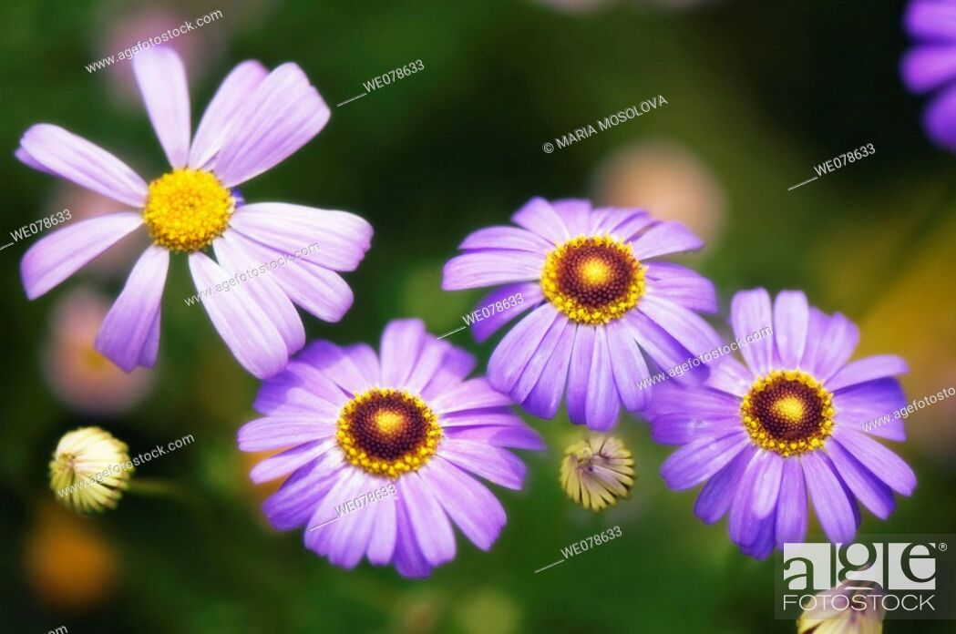 Stock Photo: Blue Swan River Daisies. Brachycome iberidifolia. June 2007, Maryland, USA.