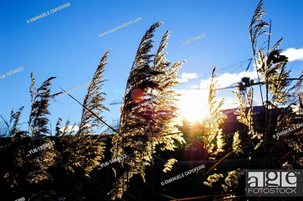 Stock Photo: Rays of the sun through the canes of the lake, Lake Verbano, Phragmites australis, Ispra, Lombardy, Italy.