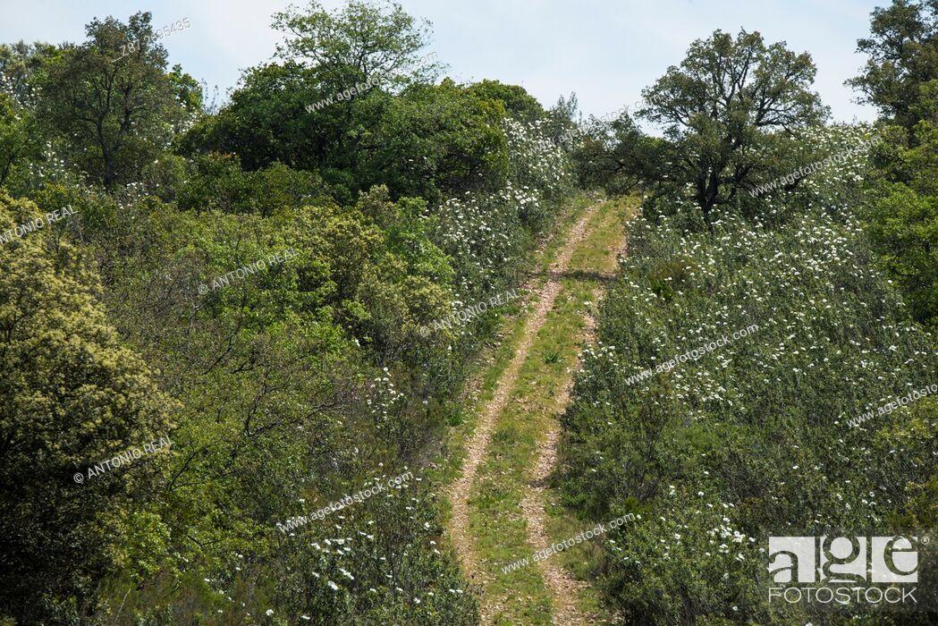 Imagen: Cistus ladanifer fields, Cabañeros National Park,  Ciudad Real province, Castile La Mancha, Spain.