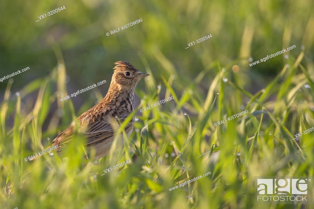 Imagen: Skylark ( Alauda arvensis ) sitting on the ground in a field of winter weat, typical bird of open fields, wildlife in spring, Europe.
