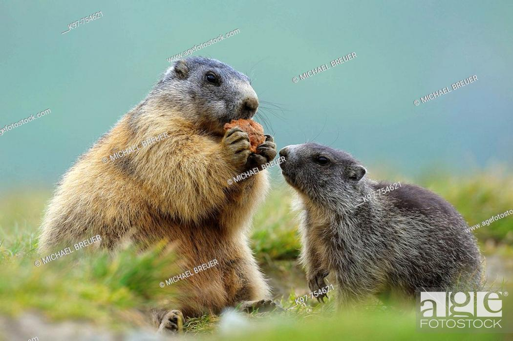 Stock Photo: Alpine marmots in National Park Hohe Tauern, Adult with young, Groß Glockner, Austria.