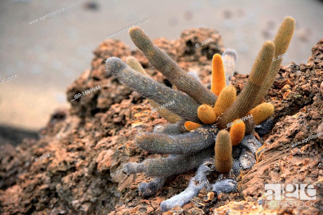 Imagen: Lava Cactus (Brachycereus nesioticus), Galapagos Islands, Pacific Ocean.