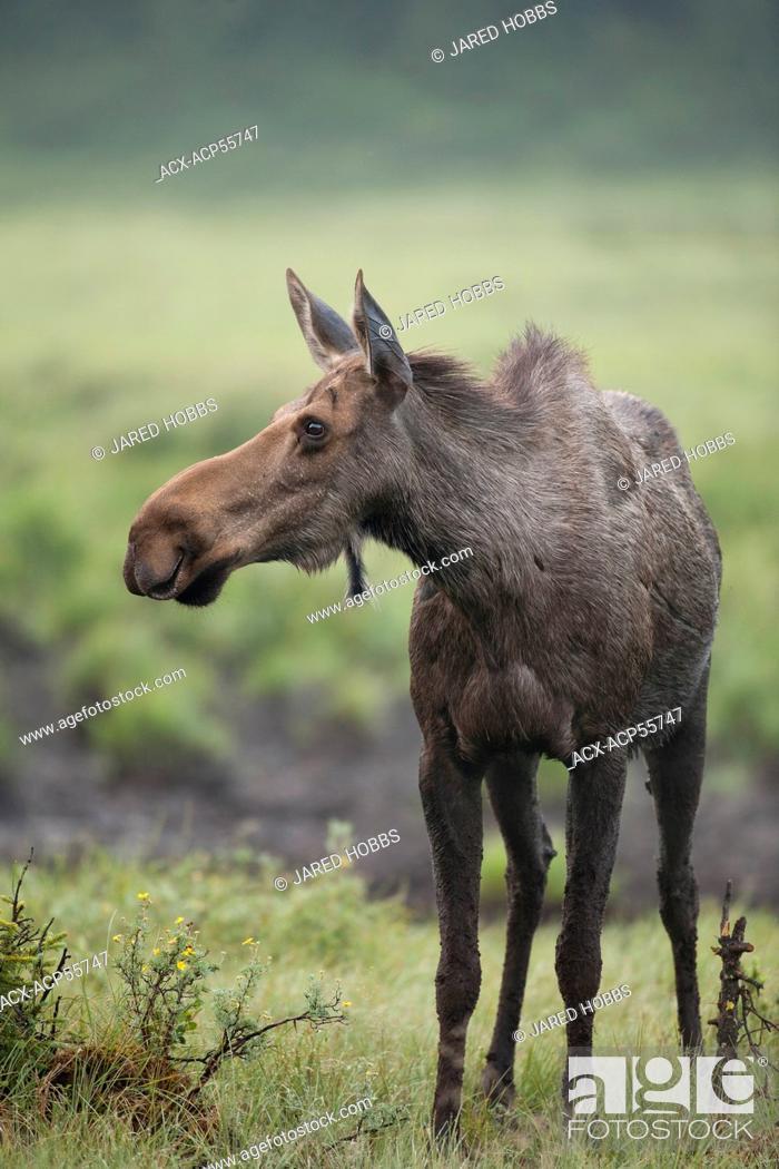 Stock Photo: Moose, Alces alces, Rocky Mountains, Alberta, Canada.