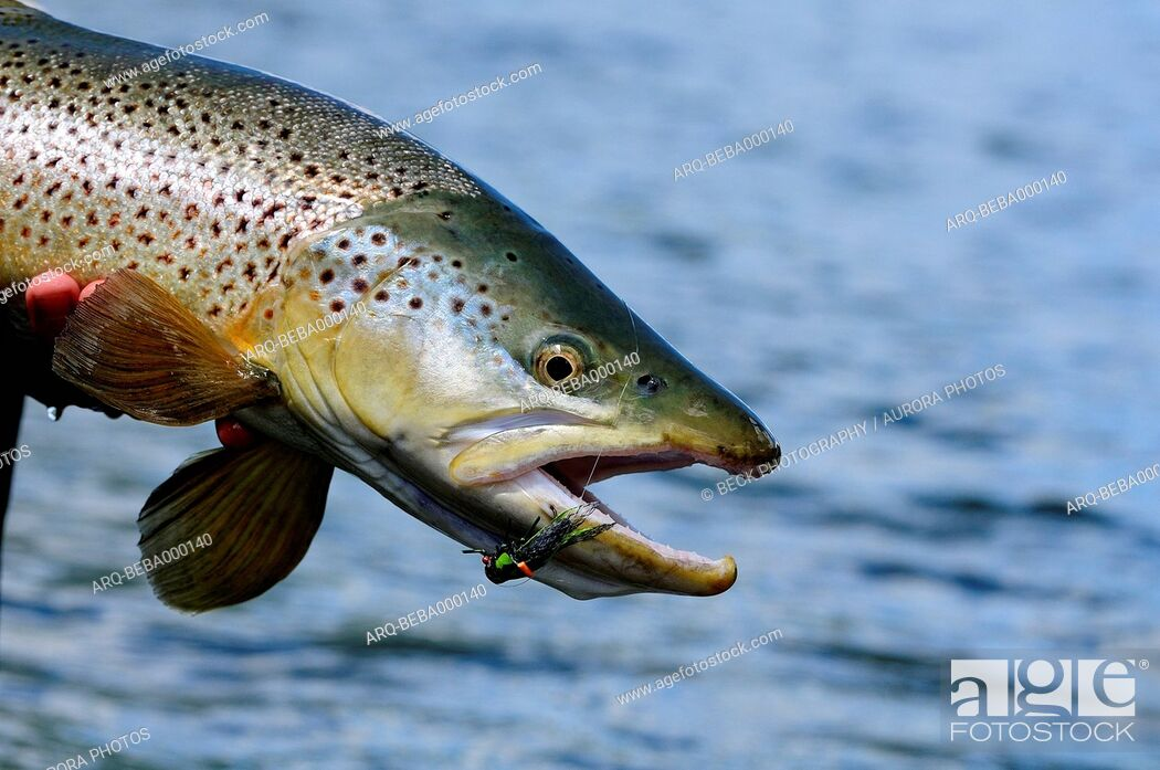 Imagen: Caught brown trout (Salmo trutta), Argentina with fly in its lip.