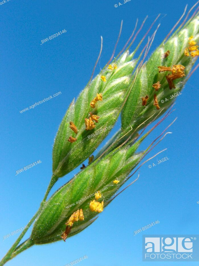Imagen: soft chess, soft-brome (Bromus hordeaceus), blooming spikelets against blue sky, Germany.